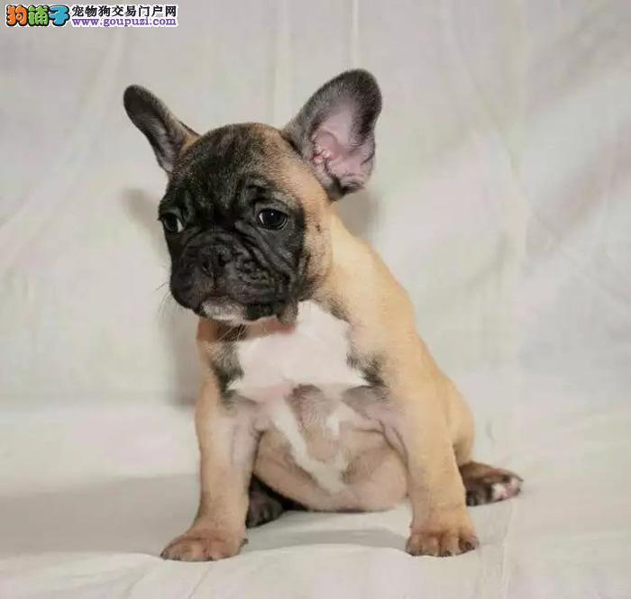 一只纯种的幼年法国斗牛犬多少钱 极品法牛宝宝出售