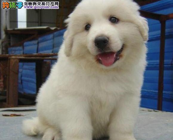 CKU认证纯种大白熊幼犬 多只种公可配种