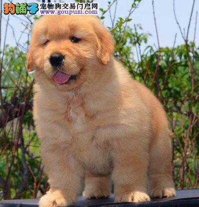 可爱聪明的金毛幼犬,保证健康,保你喜欢