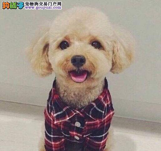 直销健康韩系泉州泰迪犬 已做好进口疫苗保证身体健康