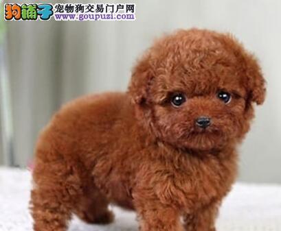 热销多只优秀的纯种泰迪犬签订三包合同