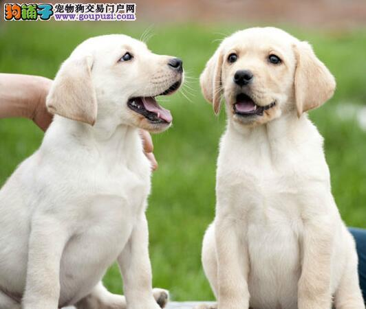 狗场直销纯种沧州拉布拉多幼犬颜色齐全欢迎选购