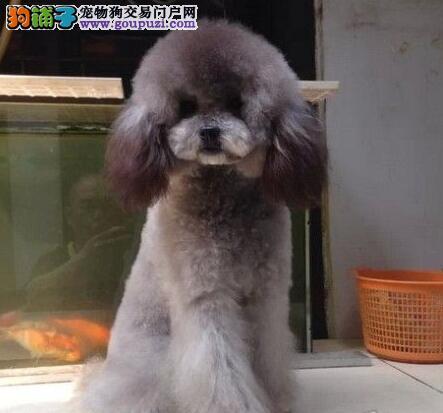 长沙出售纯种贵宾宝宝狗狗活泼可爱 包健康