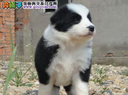 广州犬舍直销多只聪明伶俐的边境牧羊犬 请您放心选购