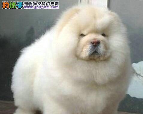 胖嘟嘟的紫舌头厦门松狮犬出售 品相一流售后服务一流