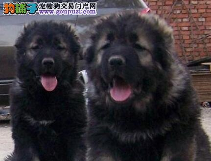 血统纯护卫犬高加索黄浦签合同出售 最好品质最优信誉