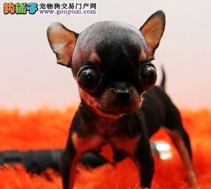 超小体乖巧可爱的广州吉娃娃幼犬找新家 可随时上门看