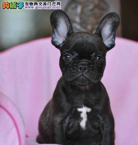 完美品相血统纯正汉中法国斗牛犬出售终身质保终身护养指导