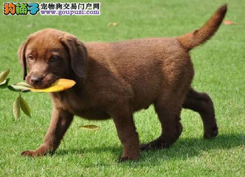 导盲犬拉布拉多,颜色齐全,高品质品相一流 实物拍摄