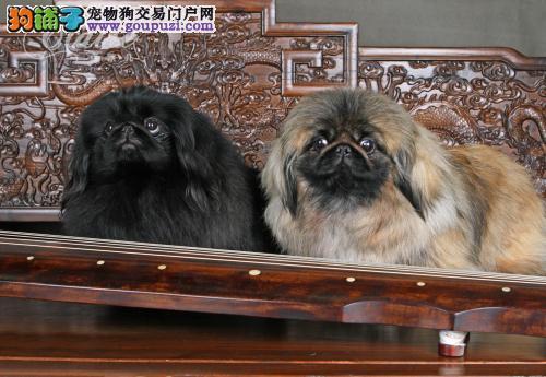深圳出售纯种京巴 可上门挑选