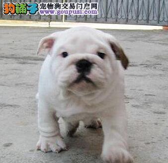 憨厚呆萌可爱太原斗牛幼犬低价出售 签协议保纯种健康