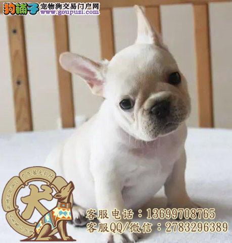 广州法国斗牛犬/法国斗牛犬图片/广东暮光狗场
