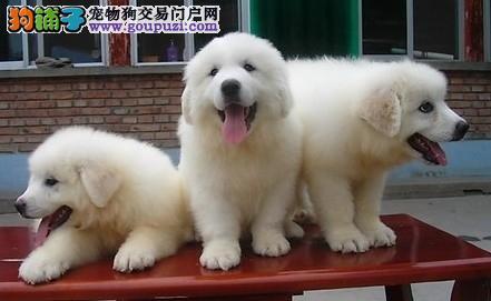 雪兽系大白熊幼犬 骨骼大 毛质好 极品幼犬待售