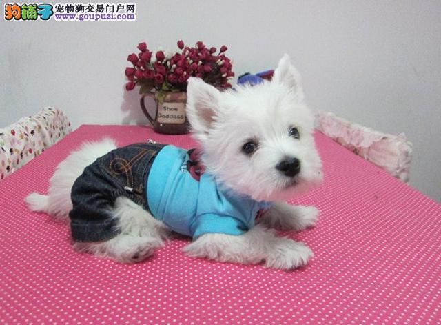 小巧可爱的西高地白梗,西高地幼犬,疫苗证书齐可视频
