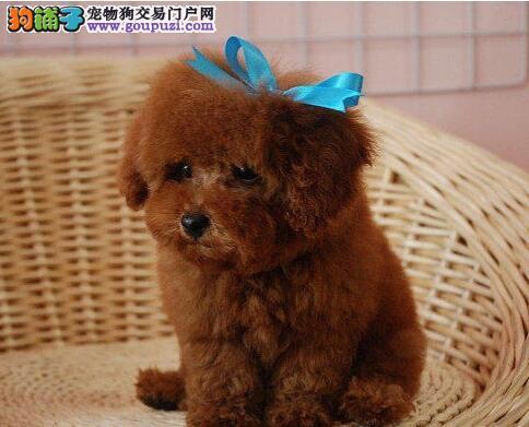 纯正血统身体健康的泰迪犬找新家 徐州市内免费送货哦