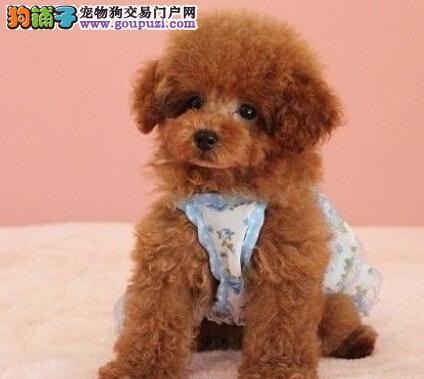 极品纯正的北京泰迪犬幼犬热销中可直接微信视频挑选