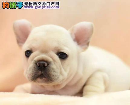 犬舍直销法国斗牛出售 纯种保健康 正规犬舍繁殖基地