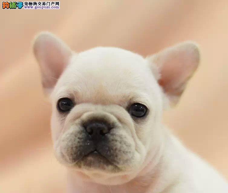 纯血统法国斗牛犬幼犬 纯种健康品相优良 购犬可签协议