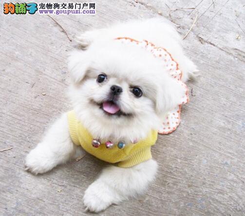 犬舍直销品种纯正健康京巴喜欢加微信可签署协议