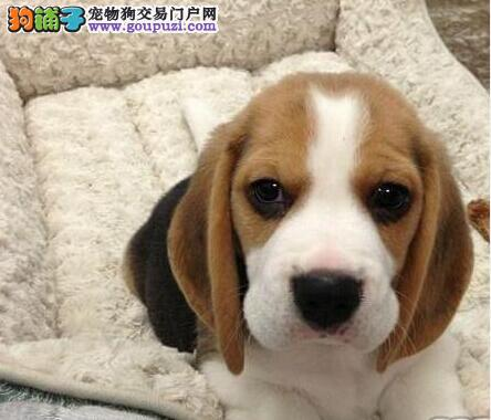 上海出售比格犬颜色齐全公母都有市内免费送货
