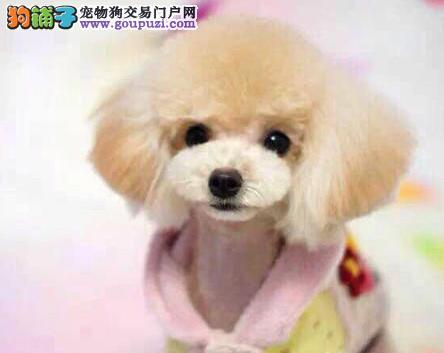 出售免疫均已做好的广州泰迪犬 请大家上门放心选购犬