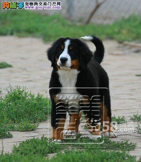 专业犬舍售品质优良纯血统伯恩山三针做完签合同保健康
