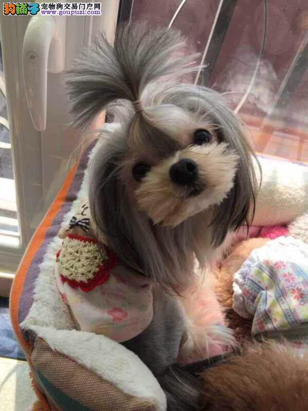 CKU认证犬舍 专业出售极品 西施犬幼犬期待您的光临