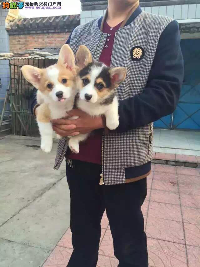 温州出售自家繁殖柯基犬幼犬 保纯种