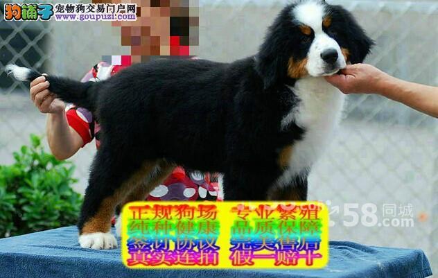 全国最大纯种犬繁育基地 现火爆出售伯恩山犬可送