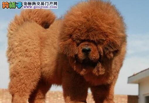 南京正规獒园直销出售纯血统的藏獒幼崽 签订购犬协议
