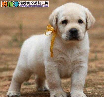 品质高血统纯 聪明可爱的桂林拉布拉多犬特价优惠处理