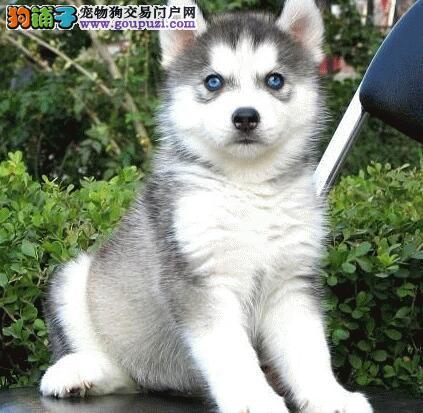 黑白色灰白色的蓝眼桂林哈士奇出售 多只幼犬供您选购