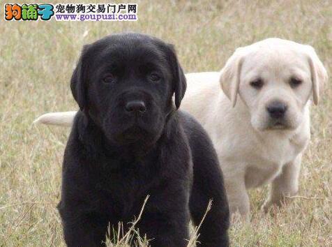 兰州大型繁殖基地低价售拉布拉多犬 终身免费售后服务