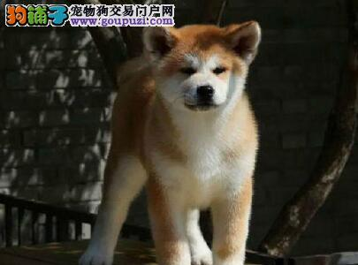 桂林养殖场出售毛色毛量极佳的秋田犬 疫苗齐全签协议