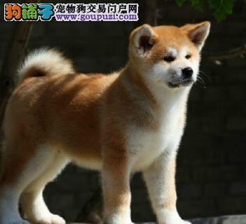 CKU认证秋田幼犬出售。价格合理,质量包纯