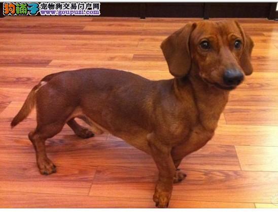 出售腊肠犬颜色齐全公母都有微信选狗直接视频