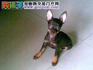 广州哪有小鹿卖 小鹿犬价格