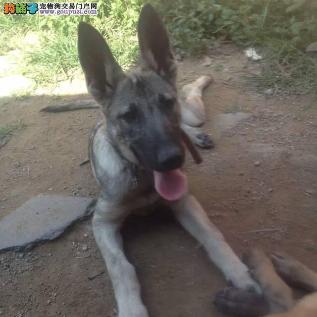 中华狼青养殖基地,纯种黑狼犬,日本狼青幼犬价格