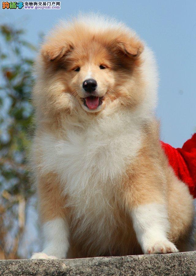 出售纯种苏格兰牧羊犬 带血统 三色雕色 健康质保