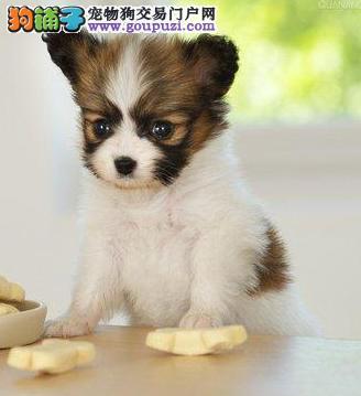 出售花白型小迷你幼犬蝴蝶幼犬宝宝 品质好特招人喜欢