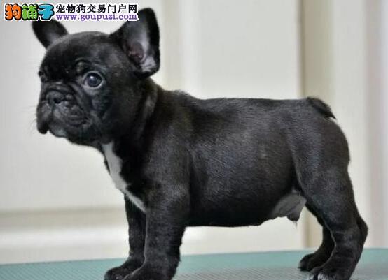 出售纯种法国斗牛犬,精心繁育品质优良,喜欢加微信