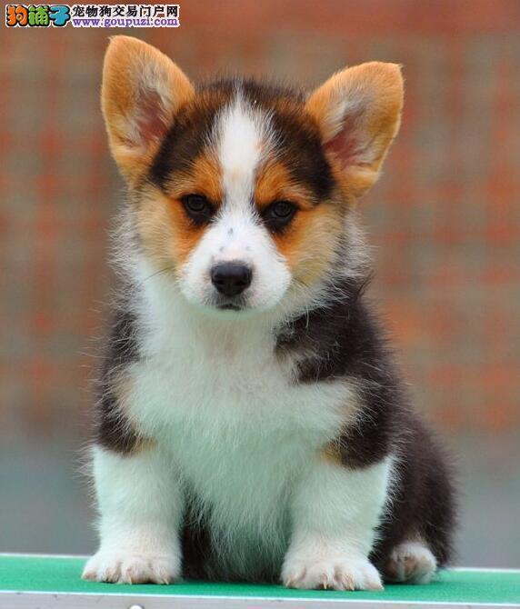 出售纯种柯基幼犬打好疫苗代办理检疫证明和空运