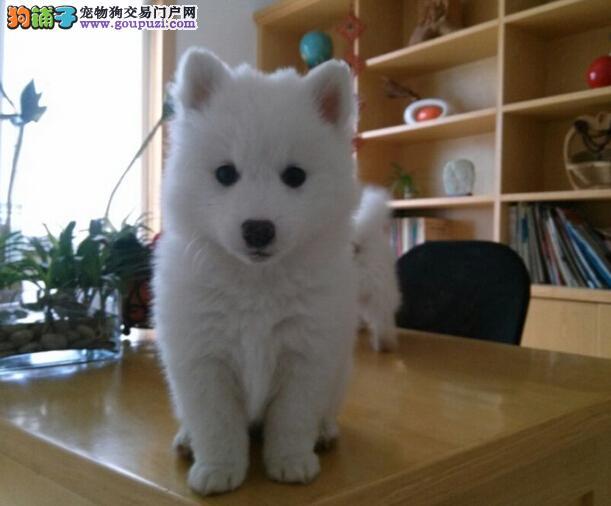 武汉哪里出售银狐犬 武汉银狐犬价格 武汉宠物狗出售