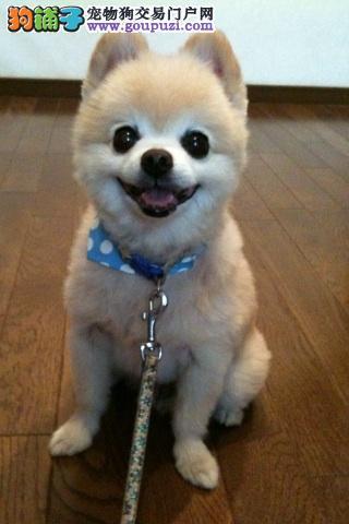 哪里有俊介犬出售 俊介专卖 俊介照片 纯种俊介犬