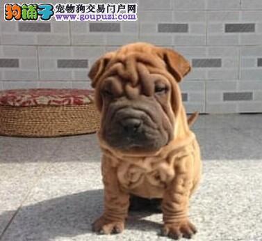 深圳繁育极品沙皮狗幼犬体型完美品质超级好