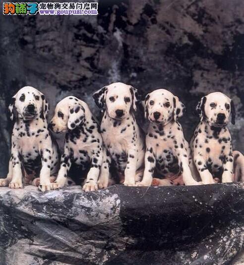 出售聪明伶俐怀化斑点狗品相极佳价格低廉品质高