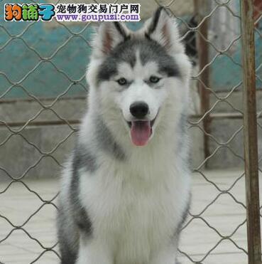 常州知名犬舍低价出售纯种健康的哈士奇幼犬 非诚勿扰