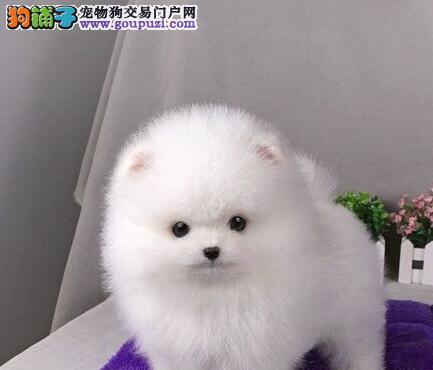 CKU犬舍认证天津出售纯种博美犬天津地区可包邮