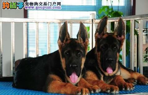 重庆自家养殖纯种德国牧羊犬低价出售签正规合同请放心购买