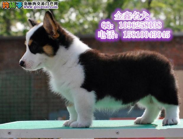 纯种小短腿威尔士柯基幼犬 三色黄白色多只可挑选